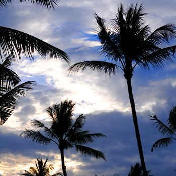 Palm trees in dawn